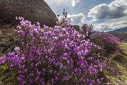 Авто Тур на Майские праздники Цветение Маральника на Алтае